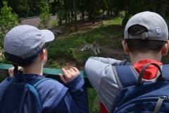 Michał i Krzyś obserwują pięknego tygrysa.